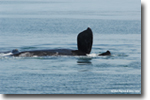 Right Whale Wave