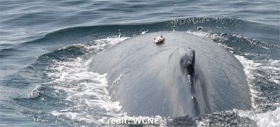Humpback whale with DTAG on its back.