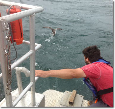 Shearwater Tagging
