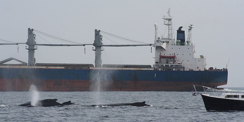 Whales surface for air with a large container ship in the background