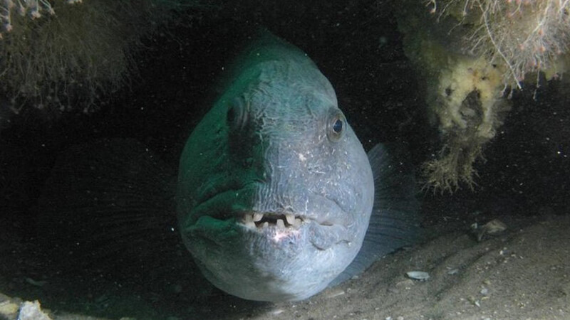 A Gray fish with teeth peers out of a small opening