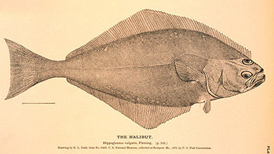 detailed drawing of a halibut